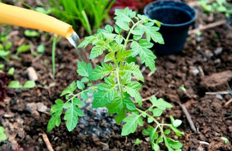 Как часто поливать помидоры в теплице и открытом грунте