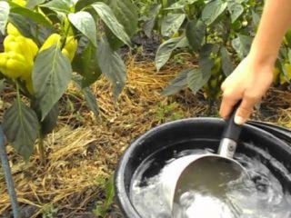 Удобрения для перца в теплице