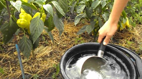 Подкормка перца после высадки в теплицу: какие удобрения использовать