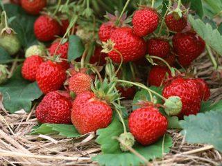 Высокоурожайные сорта клубники