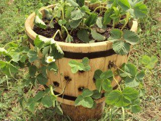 Выращивание клубники в бочке вертикально