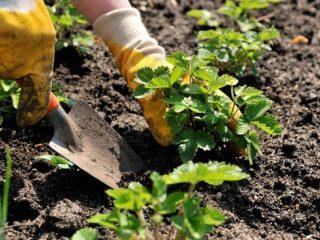 Клубника ремонтантная: выращивание и уход