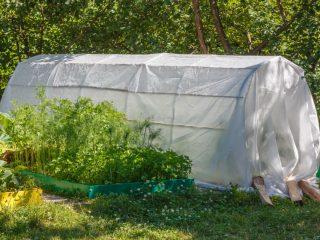 Когда можно высаживать помидоры в парник