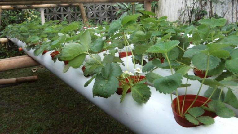 Выращивание клубники круглый год гидропоника 85