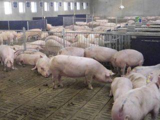 Породы свиней с фотографиями и названиями