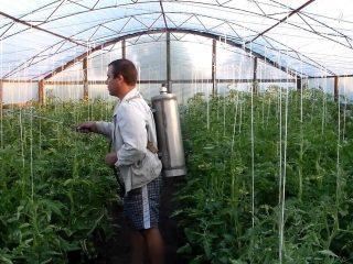 Опрыскивание и обработка помидоров йодом