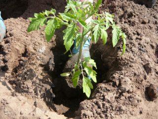 При какой температуре высаживать помидоры в грунт