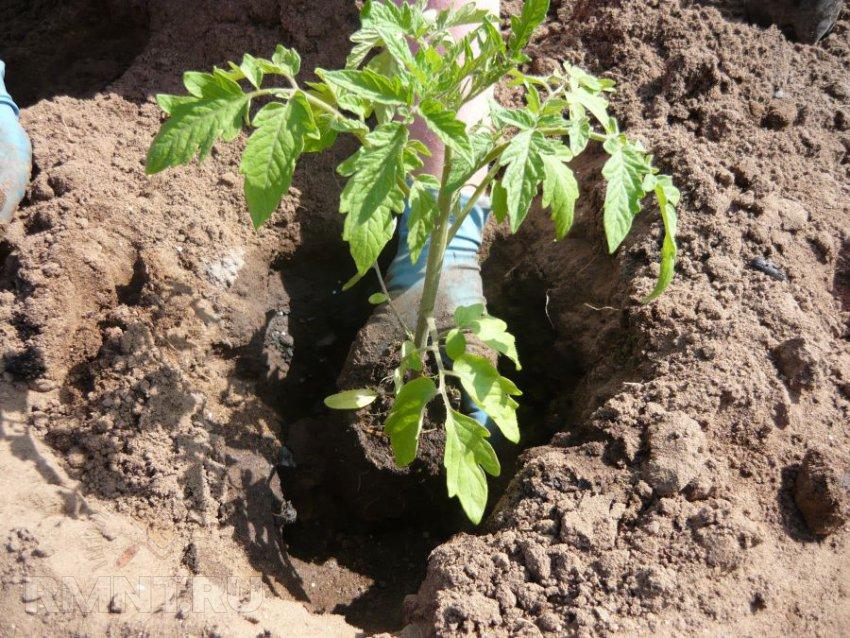 Оптимальная температура для рассады томатов: при какой можно выращивать?