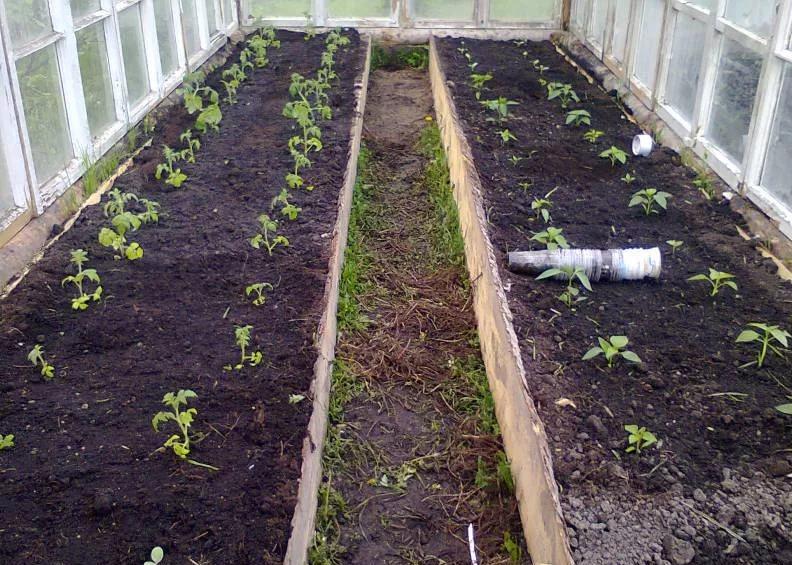 Какие удобрения вносить под помидоры в теплице
