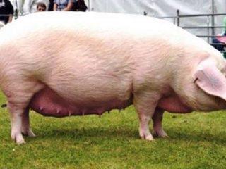 Породы свиней мясного направления: продуктивности