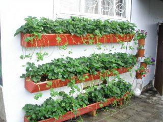 Выращивание клубники в ящиках над землей
