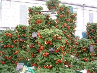 Клубника вьющаяся: особенности выращивания