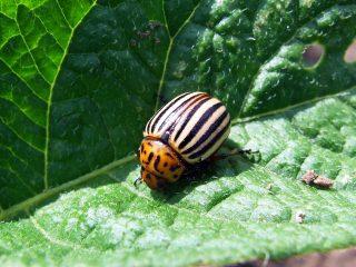 Табак против колорадского жука