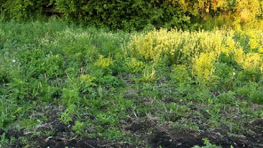 фото сорняков растущих на кислых почвах развивается обширный