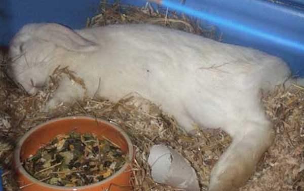 Рак у кроликов лечение