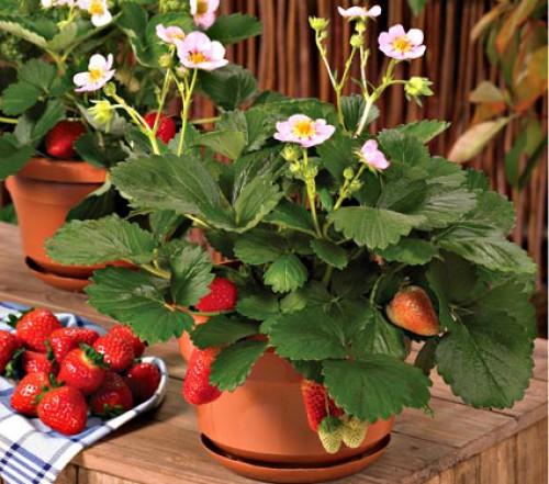 Выращивание клубники круглый год на подоконнике