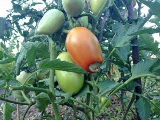 Болезни томатов: описание с фотографиями