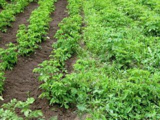 Гербицид от сорняков на картофеле после всходов