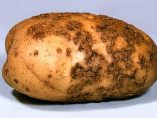 Картофель: болезни клубней + фото
