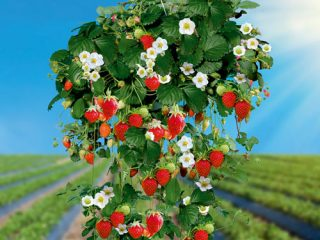 Как посадить ампельную клубнику
