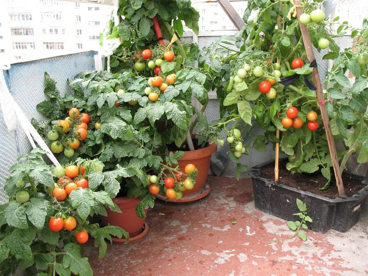Помидоры на балконе: выращивание пошагово + фото.