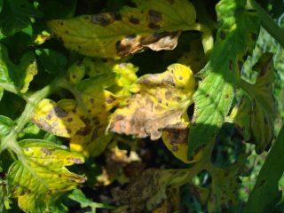 У помидоров желтеют листья в открытом грунте