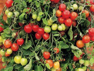 Выращивание ампельных помидоров на окне