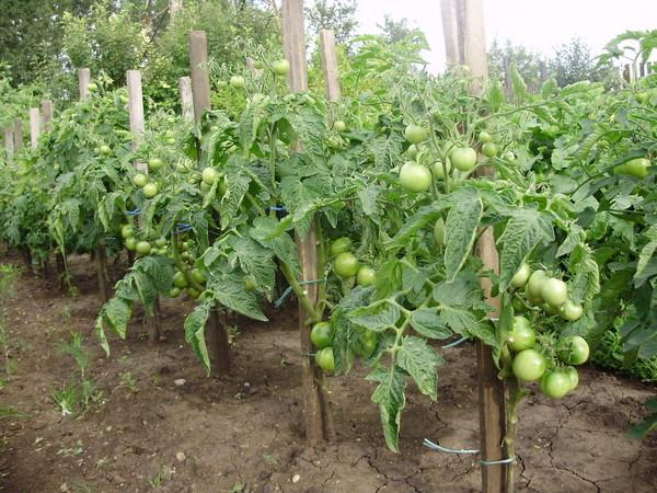 Выращивание томатов в два стебля видео