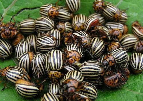 Как бороться с колорадским жуком народными методами