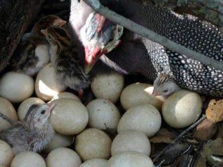 Сколько дней цесарки высиживают яйца