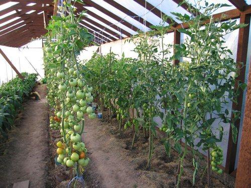 Как правильно пасынковать томаты в теплице