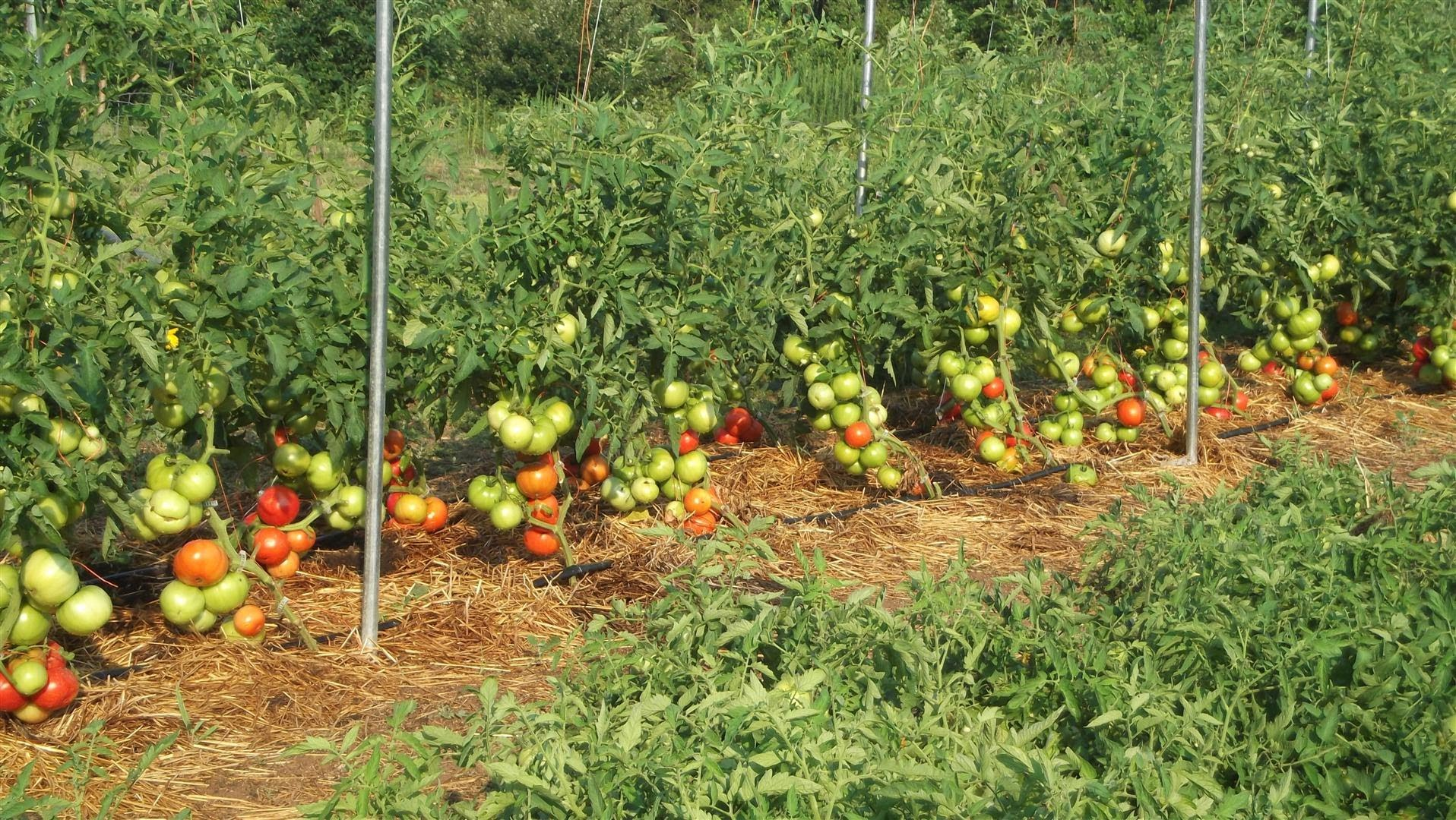 Уход при выращивании помидоров 169