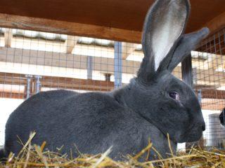 Кролики Ризен: характеристика, описание + фото