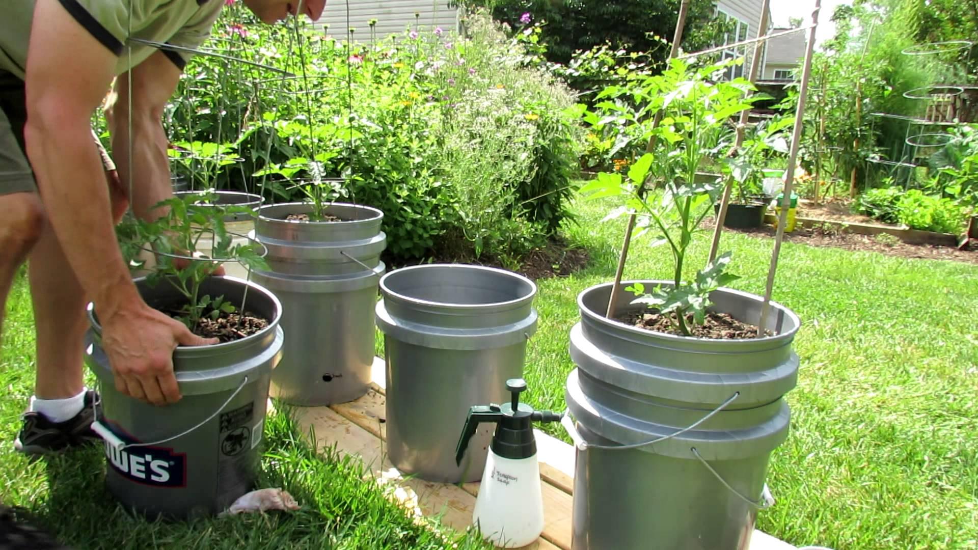 Как вырастить помидоры в ведрах без дна в открытом грунте: секрет вкусного урожая