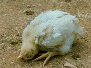 Болезнь Ньюкасла у кур: лечение, симптомы