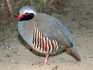 Птица кеклик: уход и разведение
