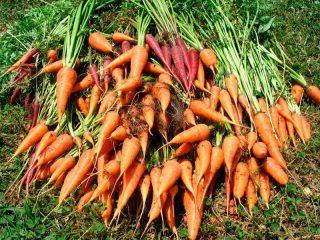 Сроки уборки моркови на хранение