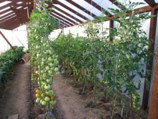 Пасынкование индетерминантных томатов