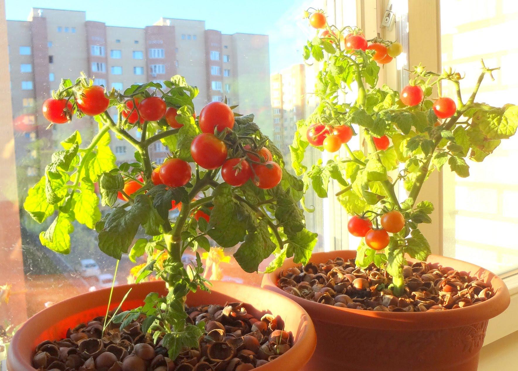 Как вырастить домашние помидоры на подоконнике