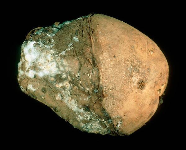 Какой гриб вызывает заболевание картофеля