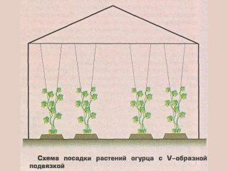 Огурцы в теплице: формирование куста, схема