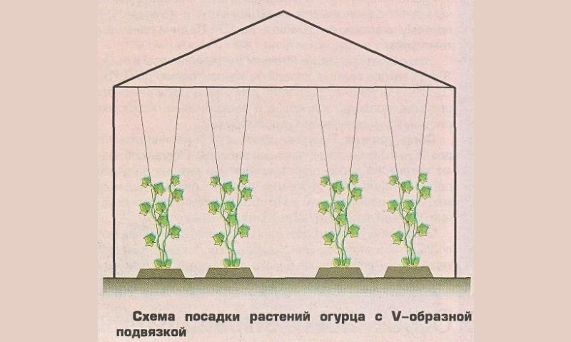 Как правильно формировать куст огурцов в теплице