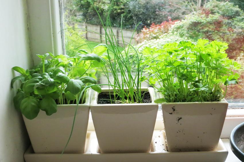 Как вырастить зелень дома на подоконнике