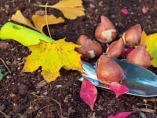 Посадка тюльпанов в открытый грунт осенью