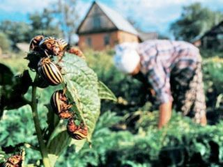 Горчица от колорадского жука на картошке