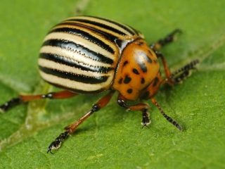Колорадский жук: борьба с ним