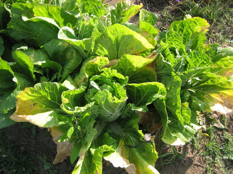 Желтеют листья капусты что делать фото