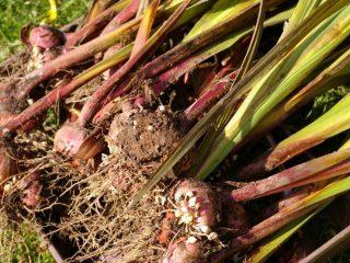 Гладиолусы на зиму: когда выкапывать и как их хранить