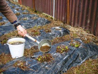 Чем удобрять клубнику осенью