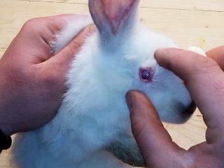 Болезни глаз кроликов: лечение + фото